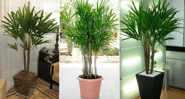 Como Cuidar da Palmeira-Ráfia
